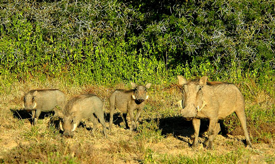 Elephant - Greater Addo and Eastern Cape Game Park Reservations