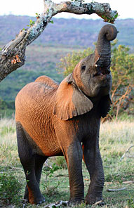 Elephant - Kariega Private Game Reserve