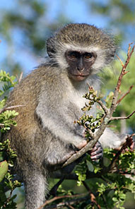 Monkey - Kariega Private Game Reserve