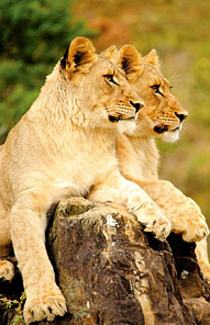 Lions - Kariega Private Game Reserve