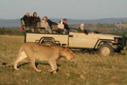 Lion on Game Drive at Lalibela